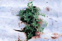 Gras op blad roestig zink Stock Fotografie
