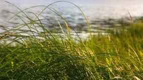 Gras op de kust van het meer stock videobeelden