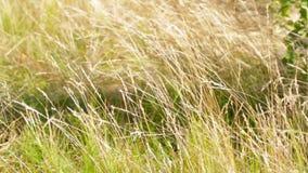 Gras op de wind stock videobeelden