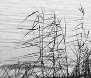 Gras op de wind Stock Afbeeldingen