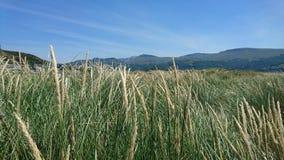 Gras op de zandduinen van Barmouth-strand stock afbeelding