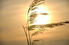 Gras op de zonsondergang Stock Foto's