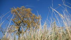 Gras op gebied in de eenzame boom als achtergrond in de herfst op een achtergrond van blauwe hemelaard stock footage