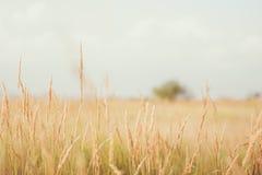 Gras op landbouwbedrijfgebied in zonnige dag Stock Fotografie