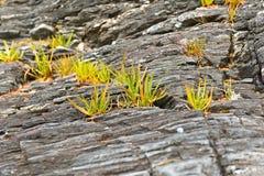 Gras op rotsen Stock Afbeeldingen