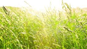 Gras op wind met zonsondergang stock footage