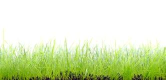 Gras op witte achtergrond Stock Foto