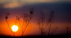 Gras op zonsondergangachtergrond Stock Fotografie