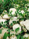 Gras over stenen Stock Fotografie