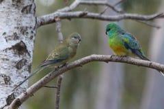 Gras-Papagei lizenzfreie stockbilder