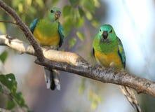 Gras-Papageien stockbild