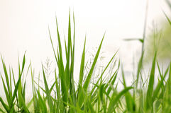 Gras Stock Photography