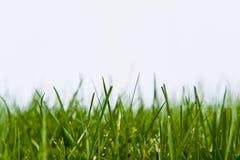 Gras-Rasen auf Weiß lizenzfreies stockfoto