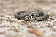 Gras-Schlange Stockfoto