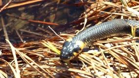 Gras-Schlange im wilden stock footage