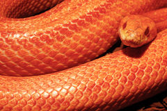 Gras-Schlange ist - Ringelnatter verlierend Stockfotografie