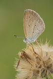 Gras-Schmetterling Stockbild