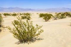 Gras secados del desierto en dunas de arena de los planos del Mesquite Foto de archivo