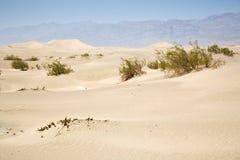 Gras secados del desierto en dunas de arena de los planos del Mesquite Imágenes de archivo libres de regalías