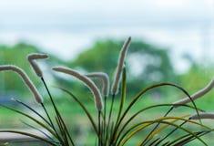 Gras-Setaria lizenzfreie stockbilder
