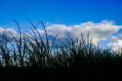 Gras in silhouet Royalty-vrije Stock Foto