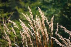 Gras skina som är guld- i höstsol fotografering för bildbyråer