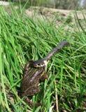 Gras-slang, die omhoog een kikker eet Royalty-vrije Stock Afbeelding