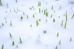 Gras in snow Royalty Free Stock Photography