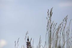 Gras tegen blauwe Hemel stock afbeeldingen
