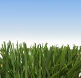 Gras tegen de hemel Stock Fotografie