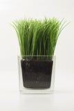 , gras in transparante rechthoekige glasvaas Stock Foto's