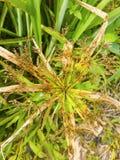 Gras trocknet nach dem Sprühherbizid, um sie in der Ölpalmenplantage zu töten lizenzfreies stockfoto