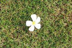 Gras u. Blume Stockbild