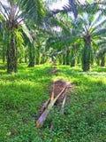 Gras umfasste Boden in der Ölpalmenplantage lizenzfreie stockfotografie