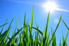 Gras und blauer Himmel Lizenzfreie Stockfotografie