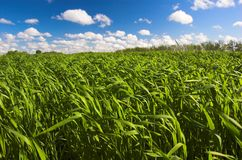 Gras und blauer Himmel Stockbild