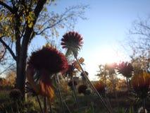 Gras und Blumen auf Wiese bei Sonnenuntergang Blumenhintergrund in den ultravioletten Farben stockfoto