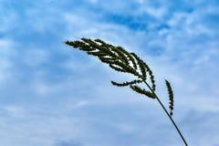 Gras und der blaue Himmel Lizenzfreie Stockfotos