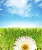 Gras und Gänseblümchen Stockfotografie