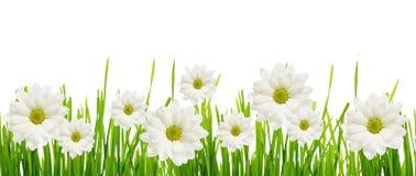 Gras- und Gänseblümchenblumenrand Stockfotos