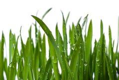 Gras und Tau Stockfotografie