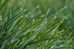 Gras und Tau lizenzfreie stockbilder