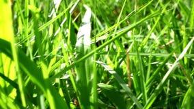 Gras unter Sonnenschein Verschieben Sie Makrovideo stock video footage