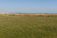 Gras van Engels, Zuinigheid, Armeria-maritima royalty-vrije stock foto's