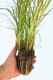 Gras Varigated Miscancanthus Stockbild