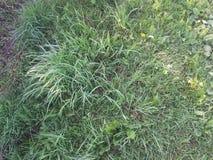 Gras verdes Imagem de Stock Royalty Free