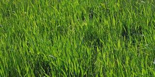 Gras verdi Fotografie Stock Libere da Diritti