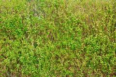 Gras verdi Immagini Stock