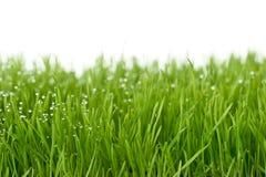 Gras verdi freschi Immagini Stock Libere da Diritti
