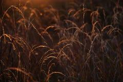 Gras während des Sonnenuntergangs lizenzfreies stockfoto